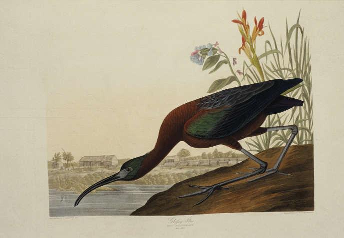 Ibis falcinelle (Threskiornithidae), extrait de «The Birds of America», de Jean-Jacques Audubon (vers1827-1830).
