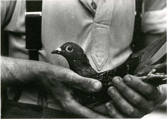Utilisés par l'armée britannique, les pigeons ont servi d'agents de liaison entre résistants pendant la seconde guerre mondiale.