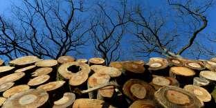 Du bois de chêne sessile destiné à être transformé en tonneaux, dans la forêt de Bercé, à Pruille-l'Eguille (Sarthe), le 14 février.
