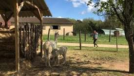 A la ferme de Sirguet (Dordogne) vivent des moutons,des canards, des chèvres naines, des poules, et autres oies et alpagas.