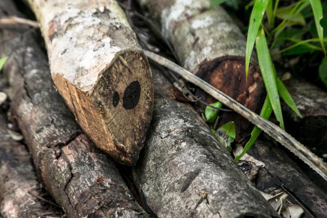 Coupes récentes de bois d'ébène provenant de la forêt de Vohibola, sur la côte est de Madacascar, retrouvées le 23 mars 2019 dans le village de Manambato, aux alentours de la forêt.
