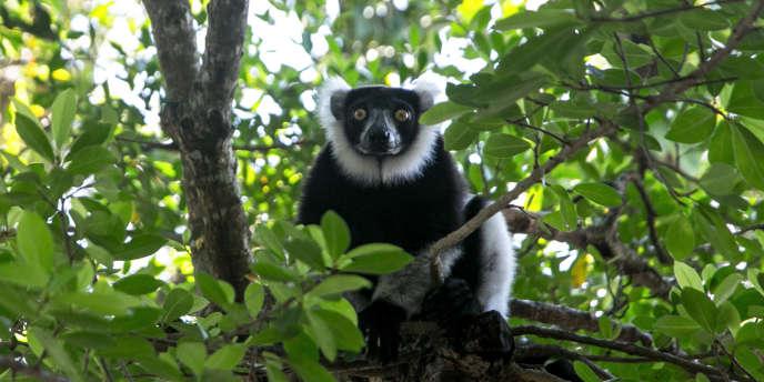 Un lémurien de la forêt de Vohibola, sur la côte est de Madagascar.