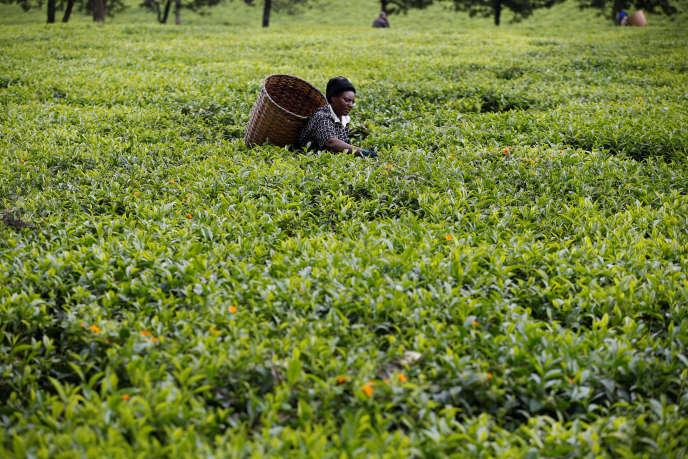 Une femme ramasse des feuilles de thé dans une plantation près de Nairobi, la capitale kényane, en avril 2018.