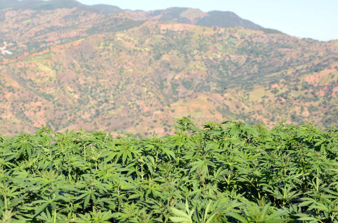 Un champ de cannabis à Issaguen, dans le Rif marocain, en mai 2013.