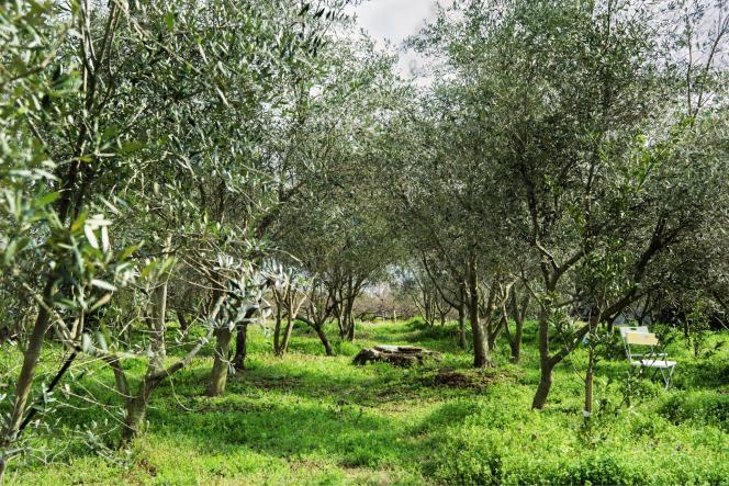 Située entre la mer et les crêtes volcaniques du mont Hoshigajo, l'oliveraie de Noriaki Yamada est luxuriante en toute saison.