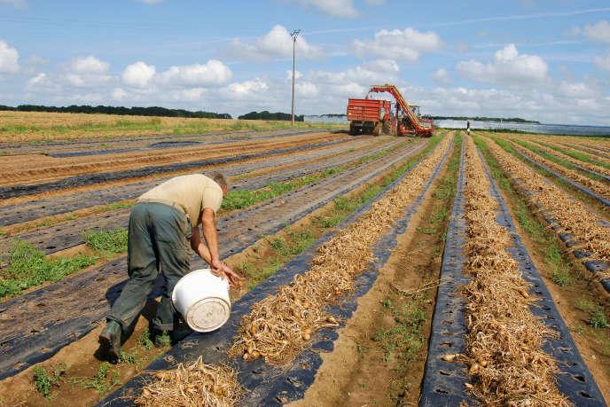« Professions intermédiaires, agriculteurs exploitants, professions indépendantes, employés ont tous des chiffres moins bons que les cadres supérieurs et meilleurs que les ouvriers» (récolte de l'échalote, dans le Finistère).
