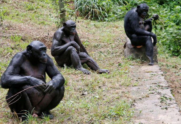 Un groupe de bonobos dans le sanctuaire Lola Ya Bonobo, situé dans la périphérie de Kinshasa (RDC), le 2 mars.