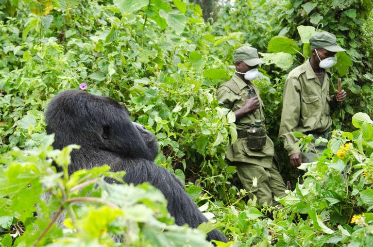 Dans le parc des Virunga, dans l'est de la République démocratique du Congo (RDC).