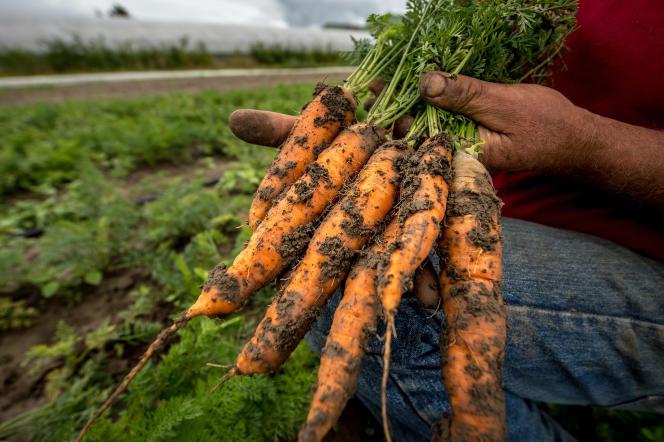 Une exploitation de carottes bio à Perenchies (Nord), le 18 août 2015.
