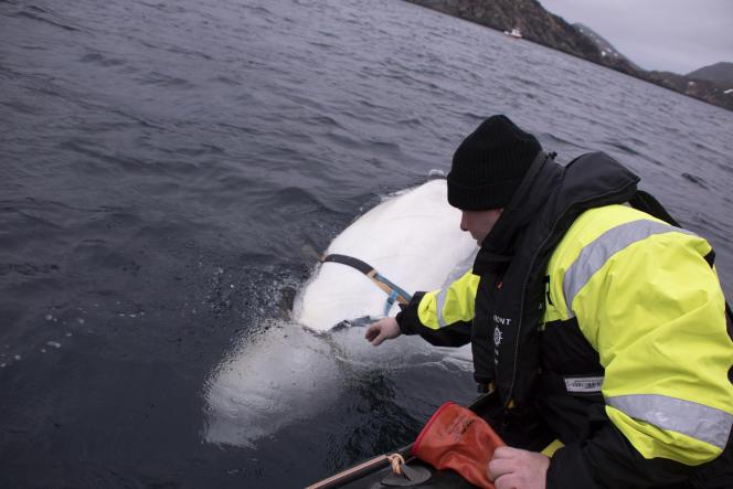 Le scientifique Jørgen Ree Wiig essaie d'atteindre le harnais du bélouga, pour l'en libérer.