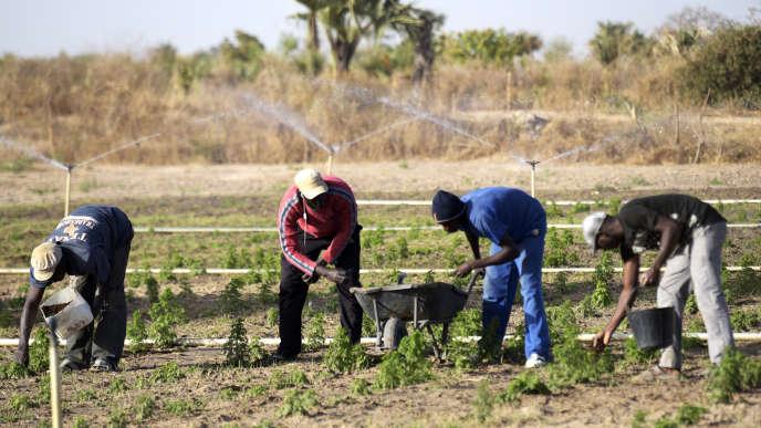 Des paysans plantent de l'artemisia à Tivaouane, au Sénégal, en mars 2018.