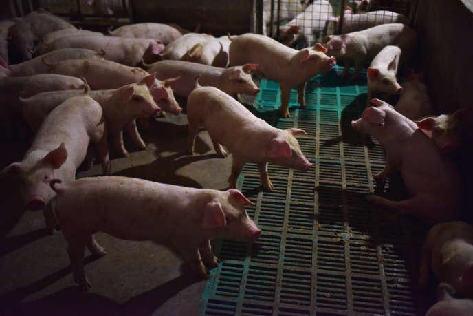 Un élevage de porcs dans la province du Henan, en Chine, le 10 août 2018.