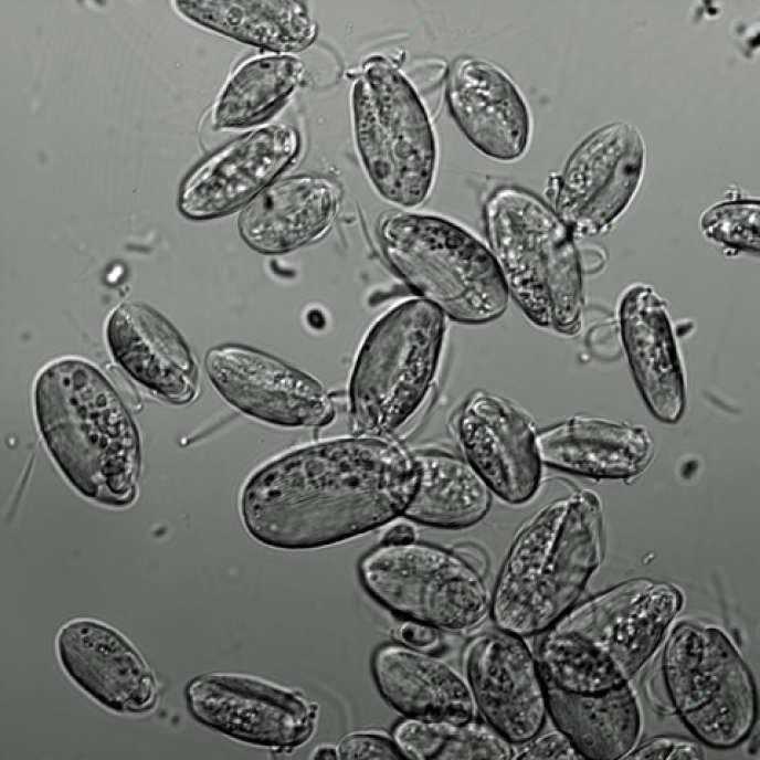 Vue au microscope de «Symbiontida euglenozoa», un organisme unicellulaire possédant un noyau et doté d'un sens magnétique.