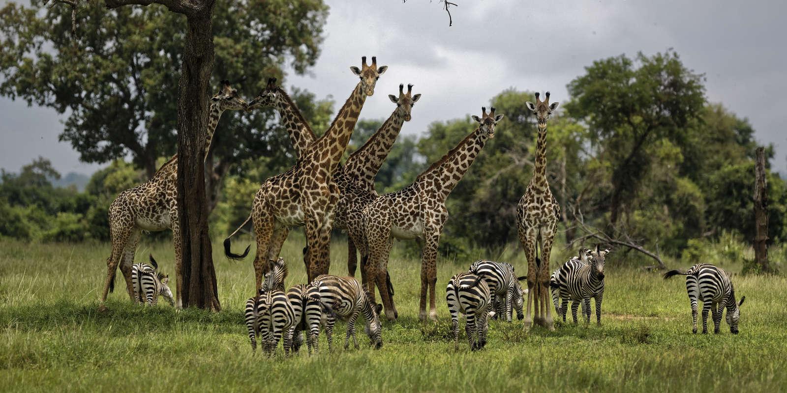 Des girafes et des zèbres dans le parc national de Mikumi, en Tanzanie, le 20 mars 2018.