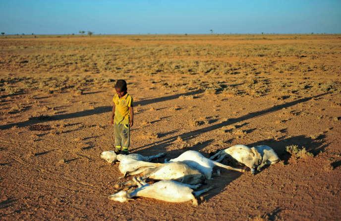 Un enfant observe des chèvres mortes à cause de la sécheresse au Puntland, en Somalie, en décembre 2016.