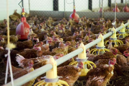 «En France, ces pauvres bêtes produisent 2 milliards d'œufs chaque année que l'on met dans des couveuses géantes pour faire éclore les poussins qui, après un élevage de seulement 35 jours, sont abattus et découpés pour approvisionner les usines de fabrication des célèbres McNuggets.»