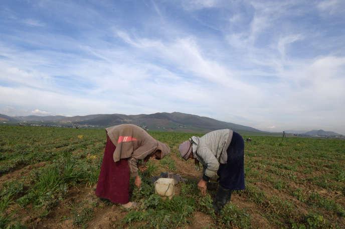 Des ouvrières agricoles dans le gouvernorat de Jendouba, en Tunisie, endécembre 2018.