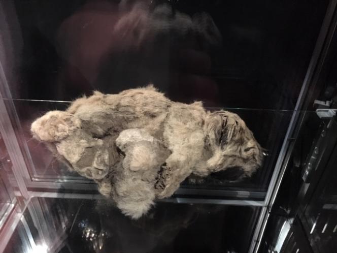 Momie de lionceau des cavernes, République de Sakha, Yakoutie, Sibérie (Russie), découverte en 2015 piégée dans les glaces sur le bord de la rivière Uyandina, et conservée avec sa fourrure et ses organes intacts.