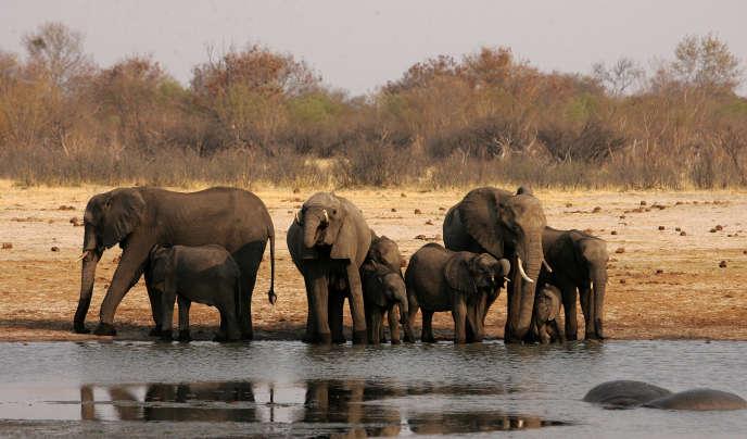 Une harde d'éléphants dans le parc Hwange, dans l'ouest du Zimbabwe, en octobre 2012.