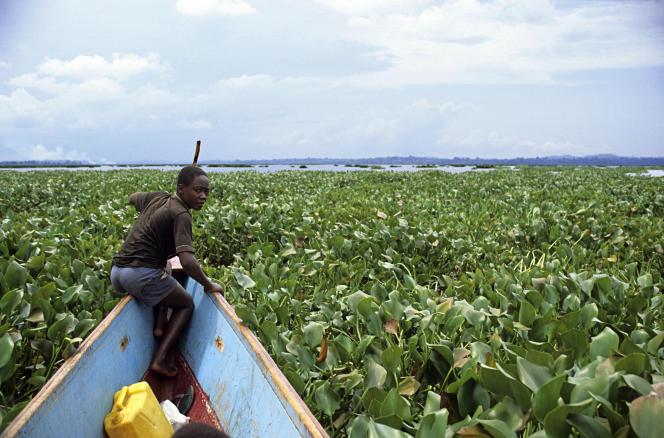 Jacinthes d'eau colonisant le lac Victoria, en Ouganda.