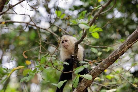 Les singes de Monkey Island, au Panama.