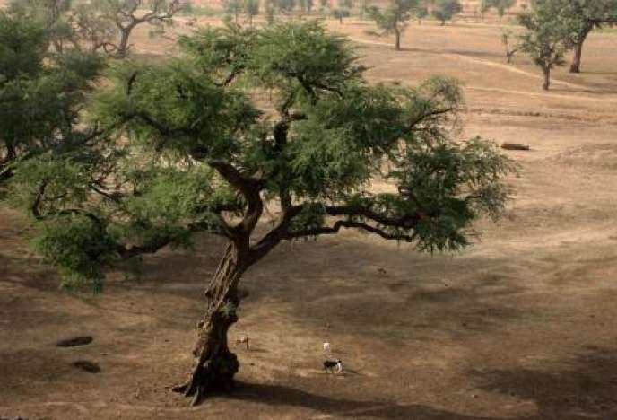 « Faidherbia albida», cousin de l'acacia, au Mali.