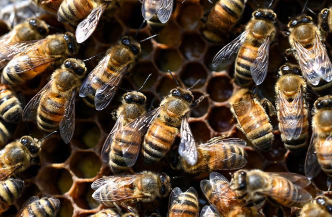La Commission européenne a mandaté des experts pour revoir les ambitions de l'UE en matière de protection des abeilles.
