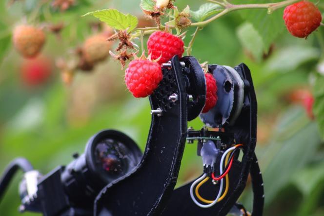 Le robot développé parl'université de Plymouth, en partenariat avecHall Hunter, l'un des principaux producteurs de baies du Royaume-Uni.