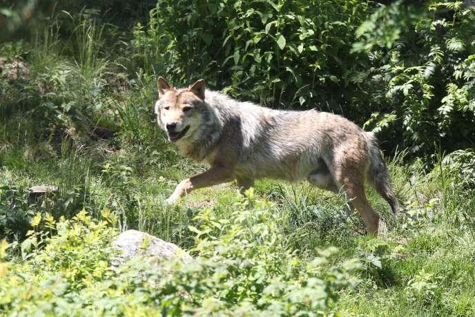 Un loup en semi-liberté dans le parc animalier Les Angles.