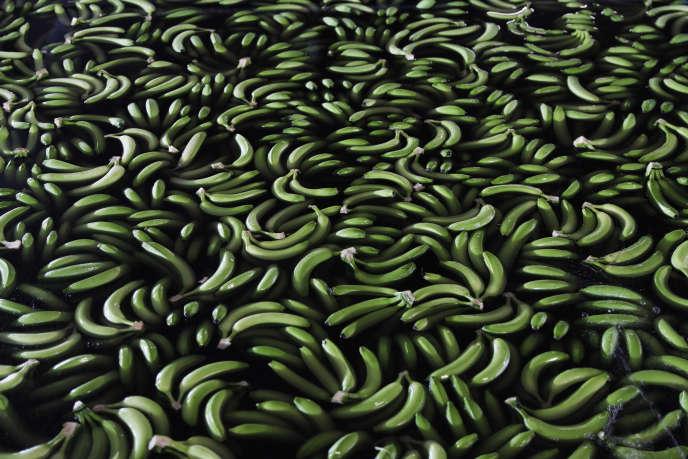 Le chlordécone est un pesticide longtemps utilisé pour combattre un insecte dévastant les bananeraies.