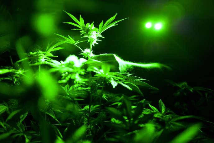 Plantation de cannabis dans une serre en Californie.
