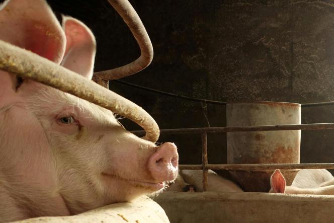 Un élevage dans le village de Changtu, province chinoise du Liaoning, le 17 janvier.