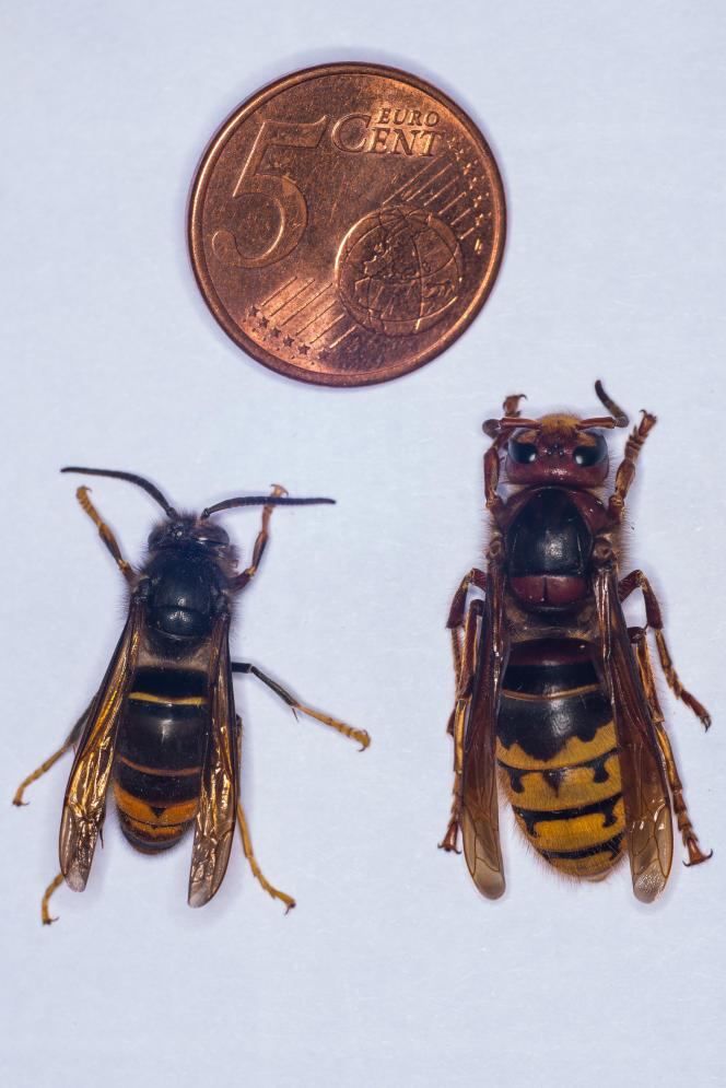 Un frelon asiatique (à gauche) et un frelon européen, conservés à l'Institut de recherche sur la biologie de l'insecte, à Tours, en septembre 2014.