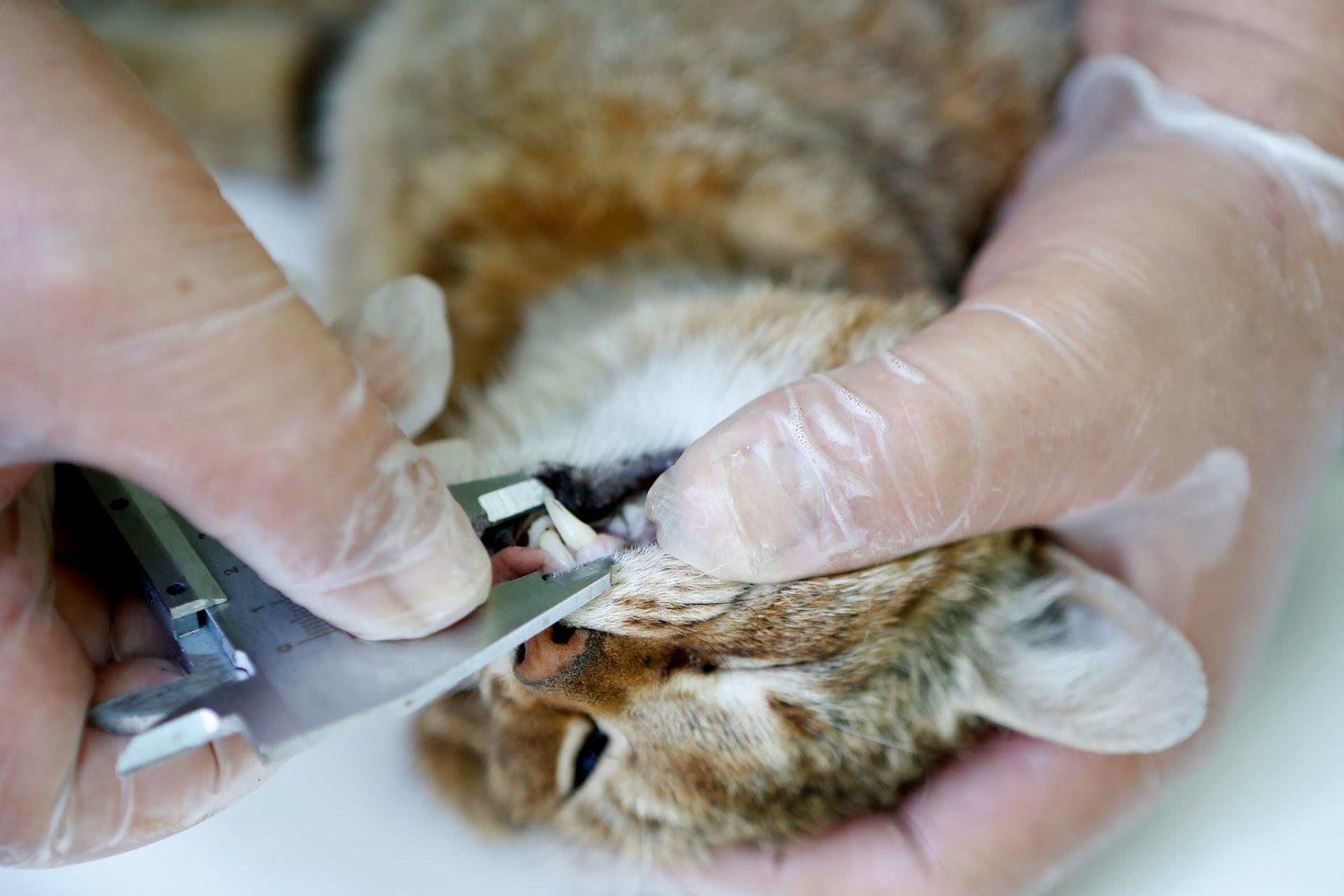 Un employé de l'Office national de la chasse et de la faune sauvage mesure les canines d'un« chat-renard», dans la forêt d'Asco.