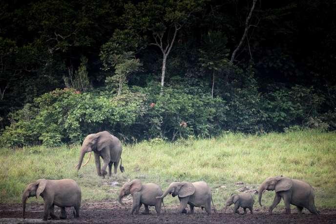 Des éléphants de forêt dans le baï de Langoué, une large clairière marécageuse dans le parc national d'Ivindo, au Gabon, le 26 avril.