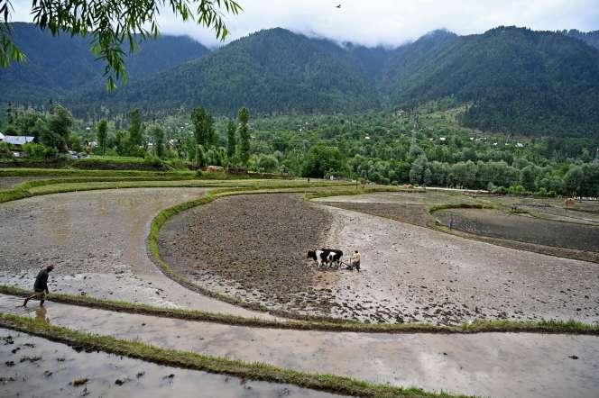 Culture de riz dans la région de Srinagar (Inde), le 12 juin.