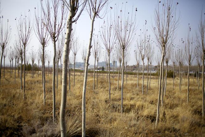 Plantation d'arbres pour freiner l'avancée du désert Chine, en périphérie de la ville de Xilinhot, enMongolie-Intérieure.