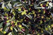 Des olives près de Nice (Alpes-maritimes), en 2013.