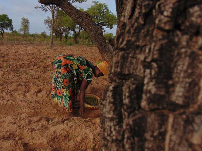 Une femme ramasse des noix de karité à Dakpemyili, dans le nord du Ghana, en juin 2019.