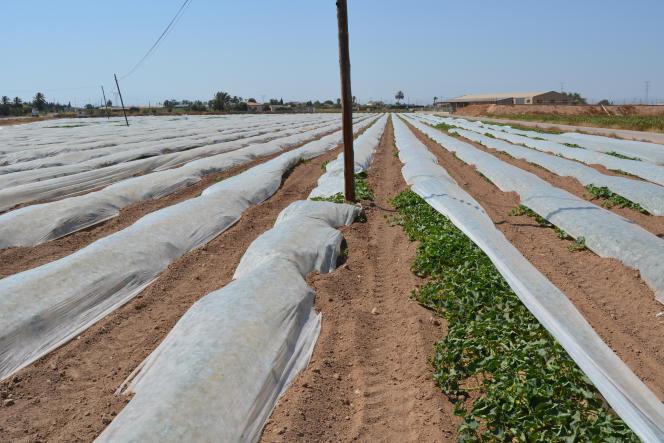 Cultures de légumes à El Ejido, dans la province d'Almeria (Espagne), en juin 2017. Le chlorpyrifos y est couramment utilisé.