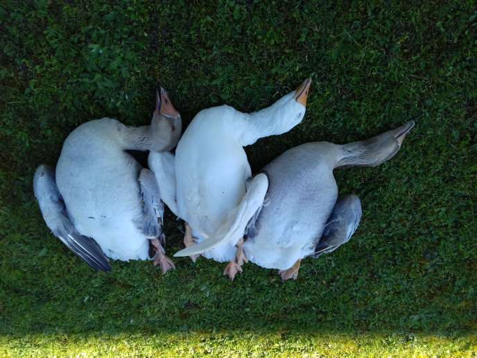 Les trois oies empoisonnées à la mort-aux-rats, à Neuvy-sur Loire.