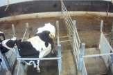Des «hublots» sur des vaches: L214 filme une pratique ancienne mais débattue