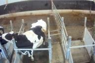 Image de vaches porteuses de canules, diffusée par L214, dans une ferme expérimentale sur la nutrition animale appartenant à la société Sanders.