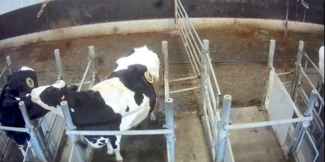 Image de vaches porteuses de canules, diffusée par L214, dans une ferme expérimentale sur la nutrition animale appartenant à l'entreprise Sanders.