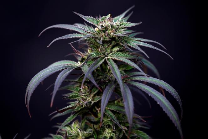 Un plant de cannabis thérapeutique, Israël, le 24 janvier 2019.