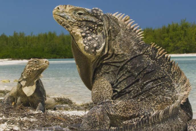 Des iguanes sur une plage.