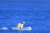 Un ours polaire sur un morceau de glace dans le grand nord canadien.