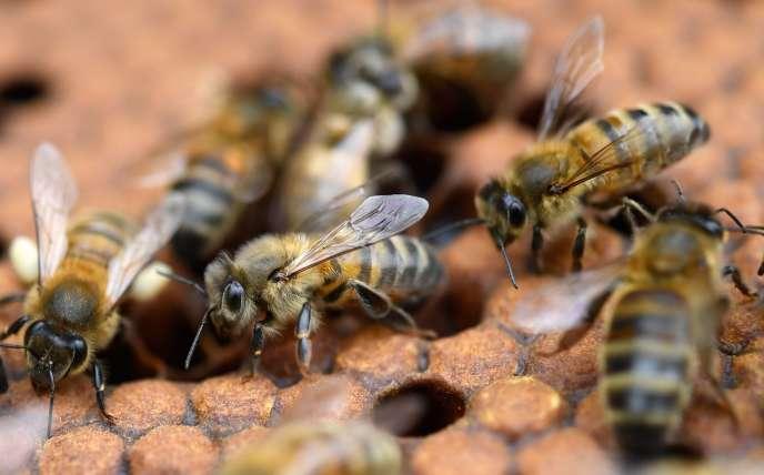 Des abeilles sur des cadres de miel, à Ploerdut (Morbihan), le 19 juin 2018.