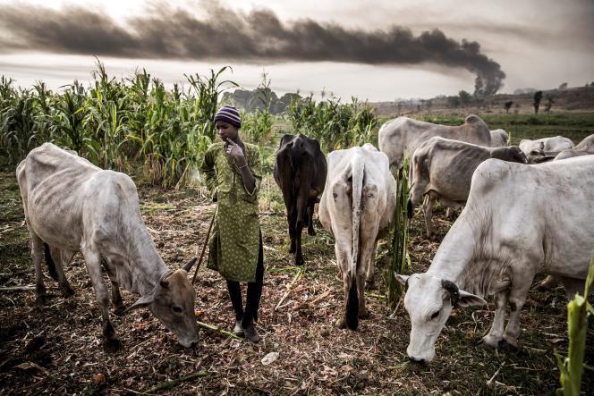 Un jeune Peul garde des vaches dans l'Etat de Sokoto, dans le nord-ouest du Nigeria, le 22avril 2019.