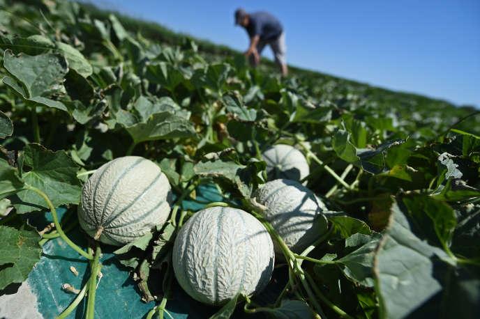 Dans un champ de melons, près de Arles, en juin 2017.